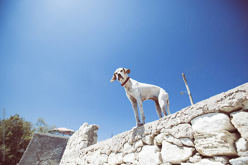 Dog looking at the camera by Silvia Cipriani for Stocksy United