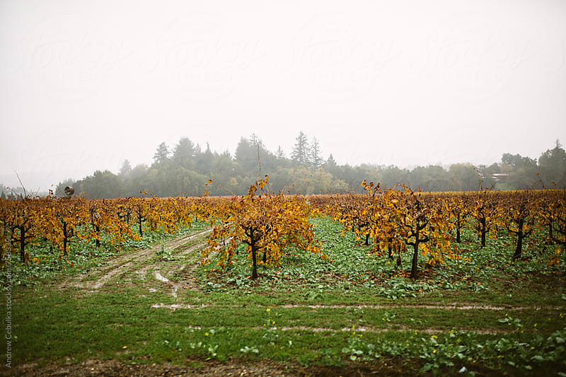Vineyards - Digital File by Andrew Cebulka for Stocksy United