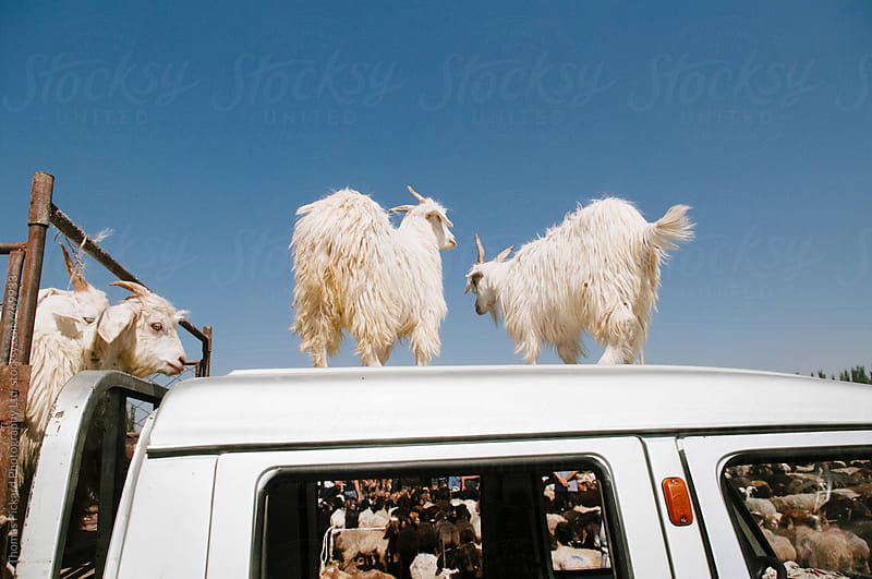 Goats for sale, Livestock Bazaar, Kashgar, China. by Thomas Pickard for Stocksy United