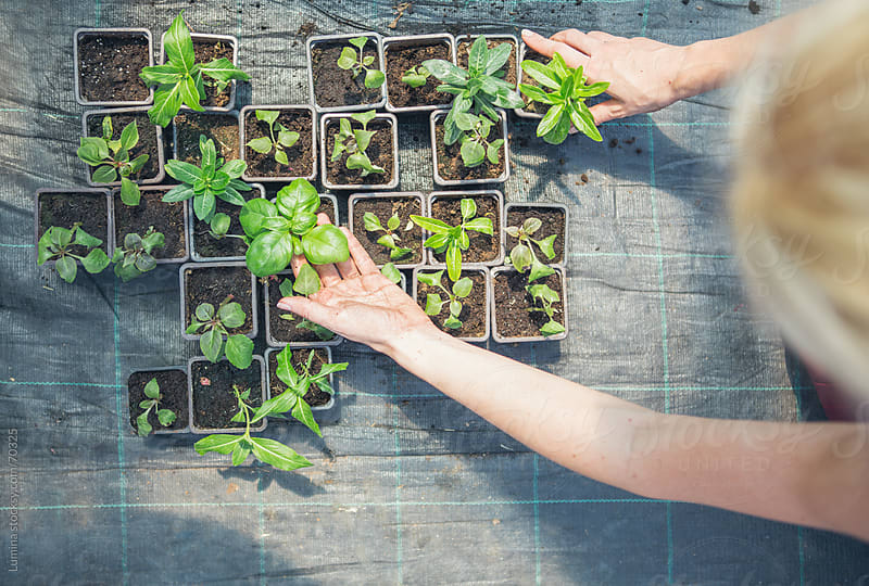 Female Hands Arranging Potted Herbs by Lumina for Stocksy United