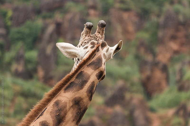 Back neck and head of a giraffe by Marilar Irastorza for Stocksy United
