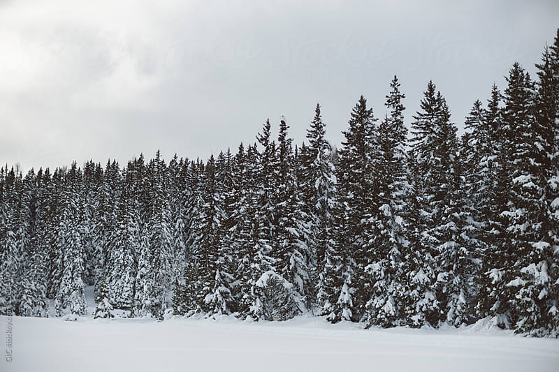 Winter landscape with snow and coniferous tree by GIC for Stocksy United