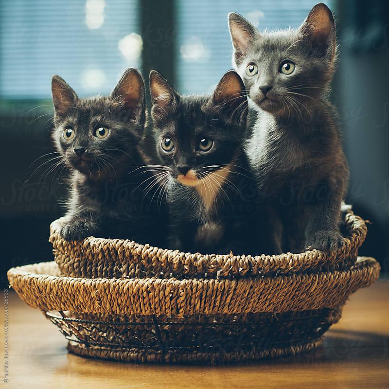 Kittens by Branislav Jovanović for Stocksy United