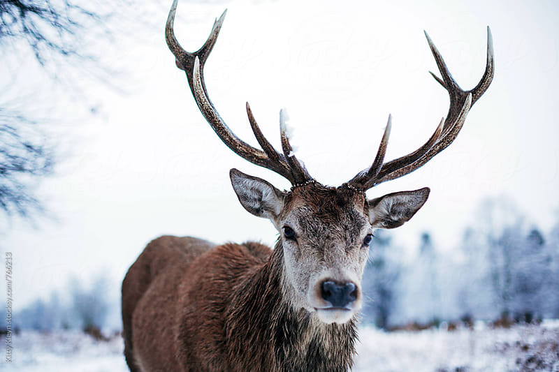 Red deer in snow by Kitty Gallannaugh for Stocksy United