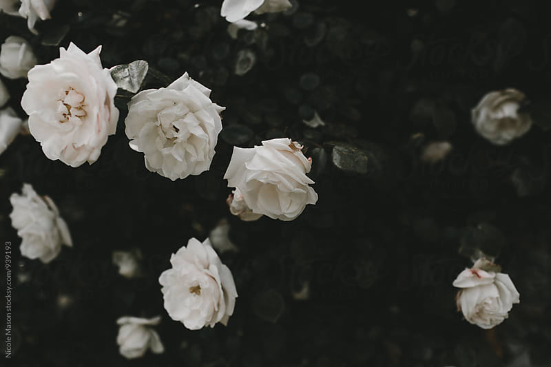 white roses in bush by Nicole Mason for Stocksy United