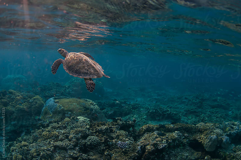 Sea turtle swims towards surface over coral reef by Caine Delacy for Stocksy United