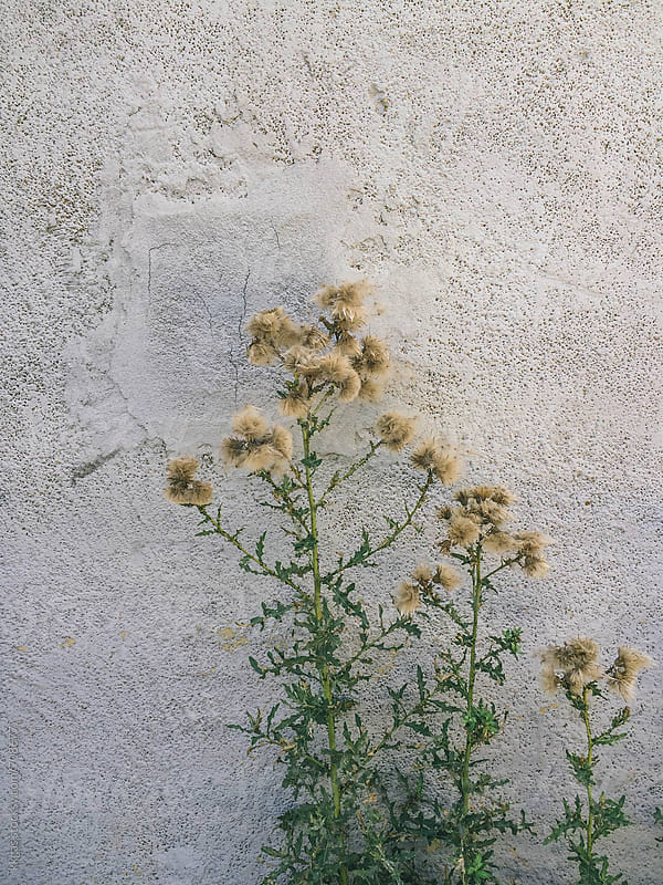 plant with seedheads against wall by kkgas for Stocksy United