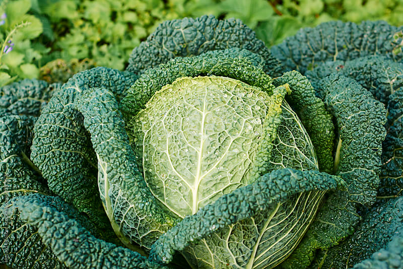 Hard of a large savoy cabbage by Harald Walker for Stocksy United