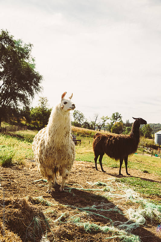 Llamas by Anjali Pinto for Stocksy United