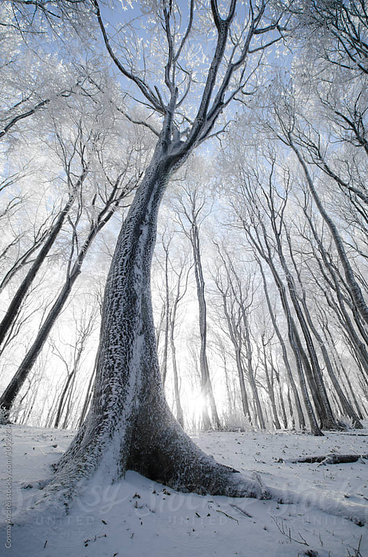 Tree in a beautiful frozen forest in winter with snow by Cosma Andrei for Stocksy United