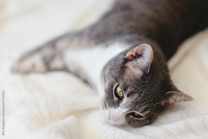 Grey cat laying on a blanket by Ellie Baygulov for Stocksy United