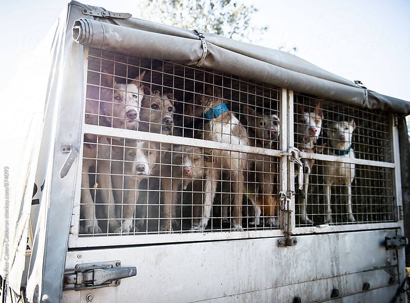 Abandoned dogs in a truck by Marta Muñoz-Calero Calderon for Stocksy United