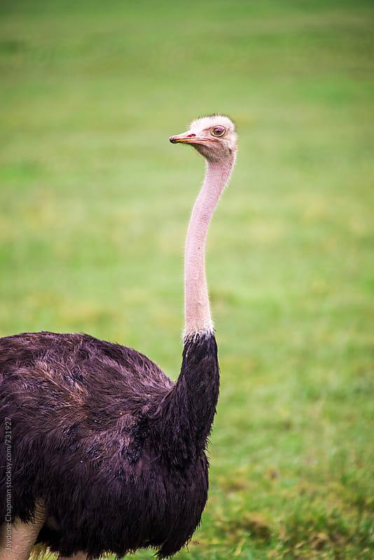 Side profile of a male ostrich by Jaydene Chapman for Stocksy United