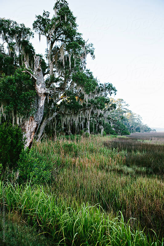Live Oaks, Lowcountry South Carolina by Andrew Cebulka for Stocksy United