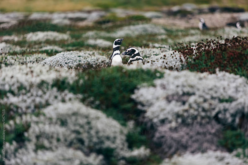 Two Magellanic Penguins on the Tundra by Willie Dalton for Stocksy United