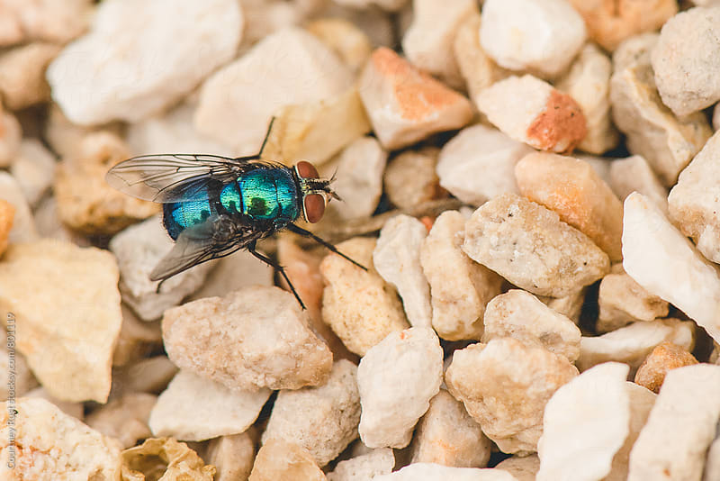 metallic fly on gravel by Courtney Rust for Stocksy United