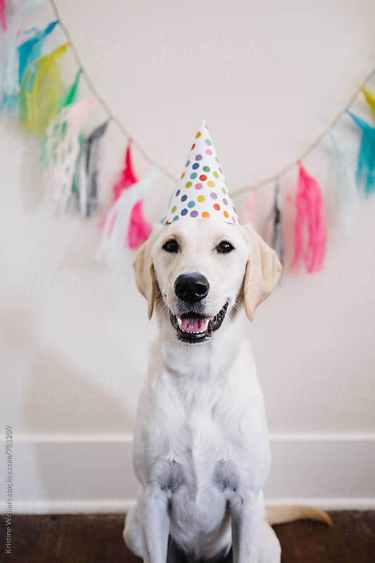 White dog celebrating birthday by We Are SISU for Stocksy United