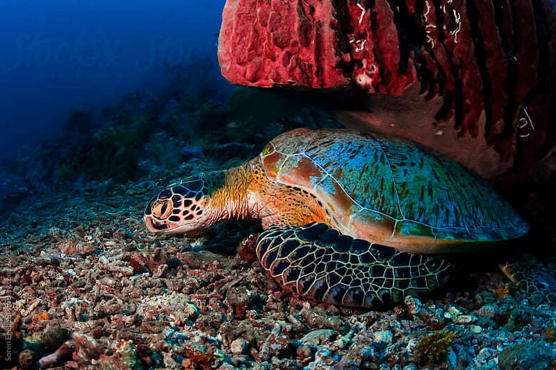Green Sea turtle resting under sponge coral  underwater in Malaysia by Soren Egeberg for Stocksy United