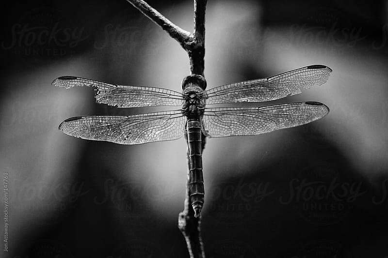Dragonfly with a broken wing by Jon Attaway for Stocksy United