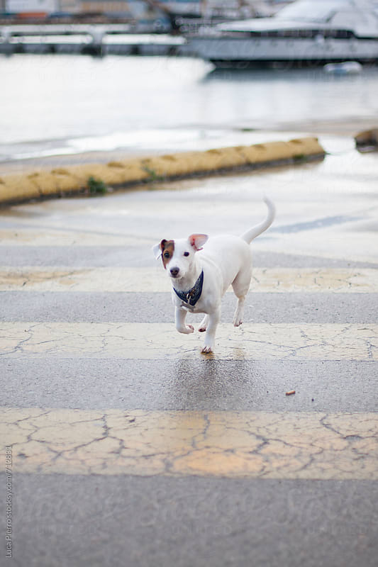 Cute Jack Russell Terrier during a walk by Luca Pierro for Stocksy United