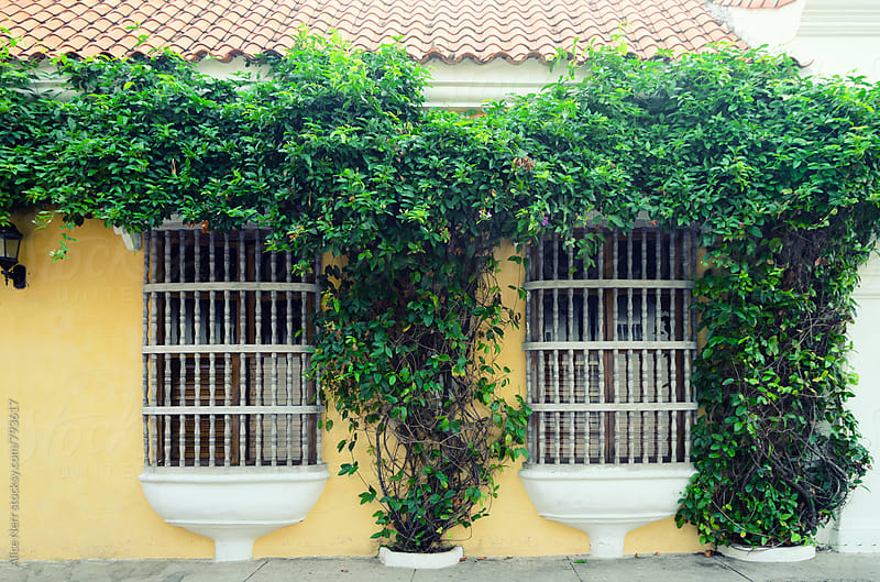 Wall with traditional windows and massive green plant in Cartagena by Alice Nerr for Stocksy United