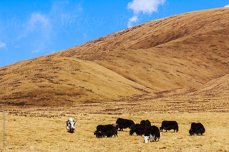 Yaks in pasture,Qinghai,China by zheng long for Stocksy United