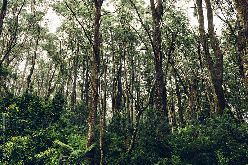 Australia Nature. Green trees in forest by Trent Lanz for Stocksy United