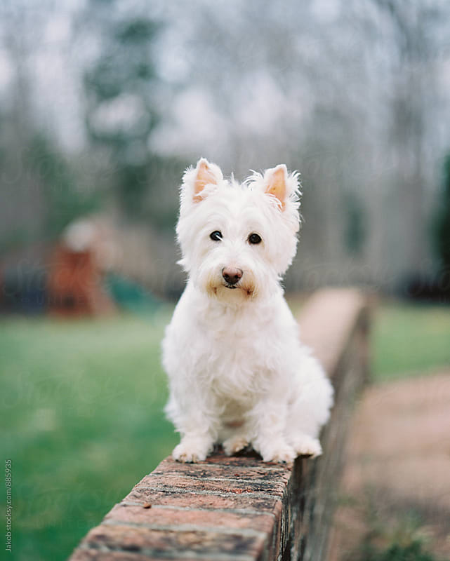 Cute white dog sitting on a brick wall by Jakob for Stocksy United