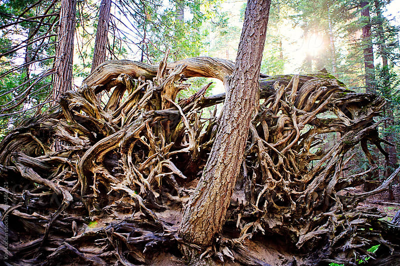 Roots of a Fallen Giant Sequoia  by Kim Lucian for Stocksy United