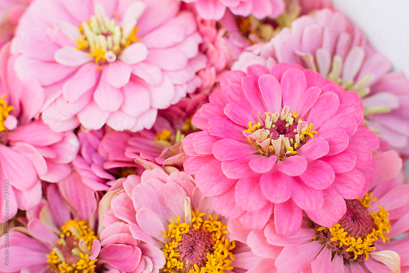 Bouquet of pink zinna flowers by Kristin Duvall for Stocksy United
