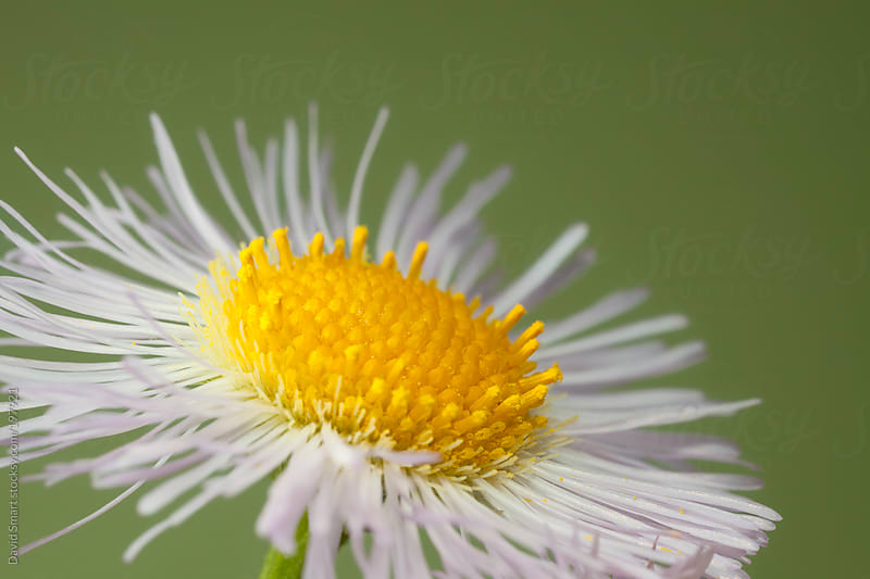 Daisy Fleabane flower head against out-of-focus background by David Smart for Stocksy United