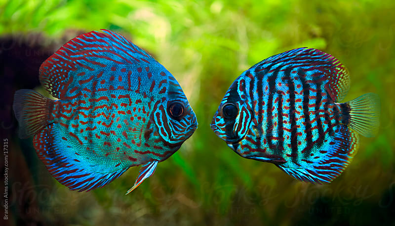 Tropical Discus Fish Kiss by Brandon Alms for Stocksy United