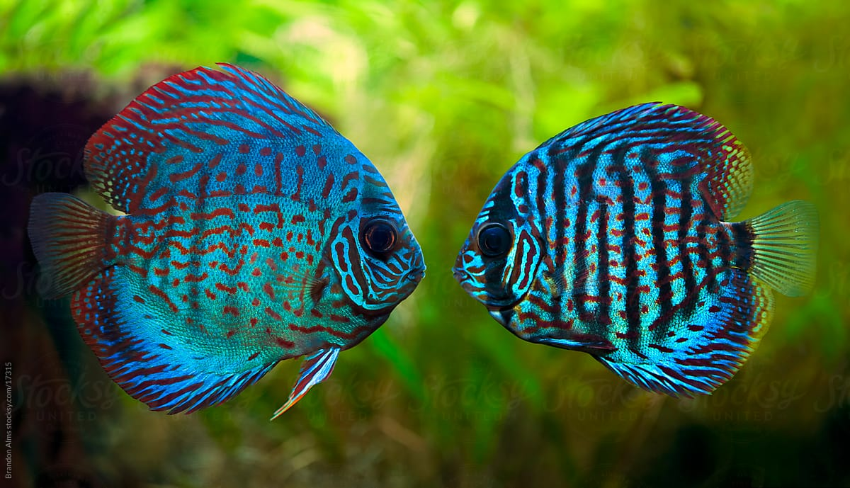Red Discus Fish For Sale