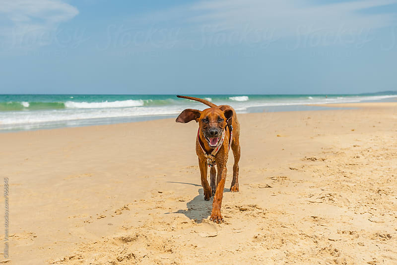 happy dog  running on the beach by Gillian Vann for Stocksy United