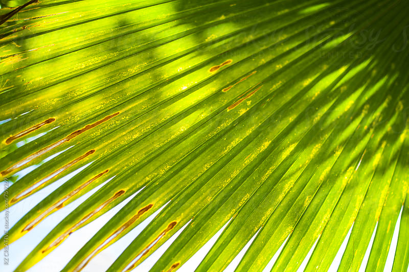Sunlight shines through a palm. by Robert Zaleski for Stocksy United