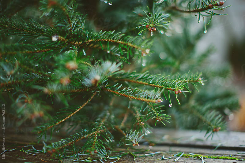 Close up of water droplets on pine tree branches by Michelle Moore for Stocksy United