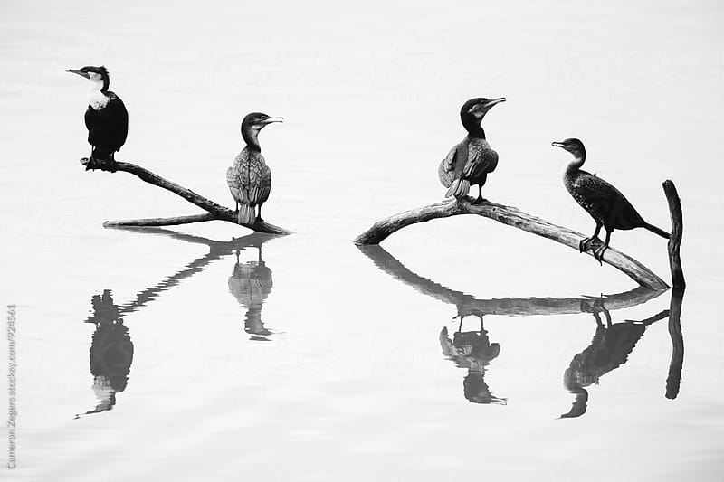 cormorants and their reflections by Cameron Zegers for Stocksy United