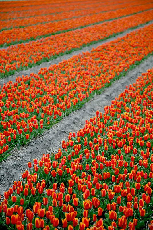 A field of red and yellow tulips in blossom during spring in Holland  by Ivo de Bruijn for Stocksy United