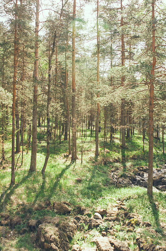 Beautiful pine forest illuminated by the sun by Brkati Krokodil for Stocksy United