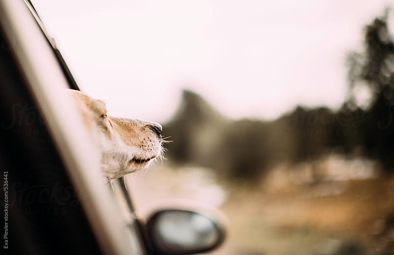 Dog in a car sniffing the wind through the window. by Eva Plevier for Stocksy United