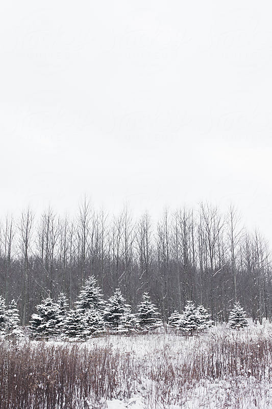 Vertical wintry scene of a group of evergreen trees at the edge of forest by Amanda Worrall for Stocksy United