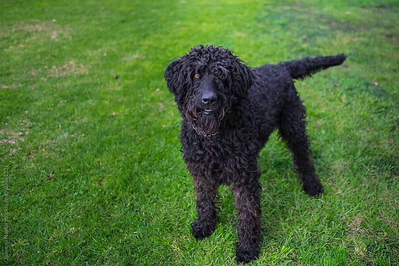 Joyful black Labradoodle Dog by Rowena Naylor for Stocksy United