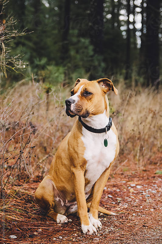 Boxer Pit Bull sitting outside by Justin Mullet for Stocksy United