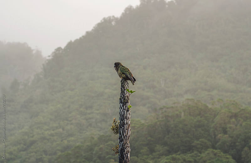 Kea parrot perched in the rain by Dominique Chapman for Stocksy United