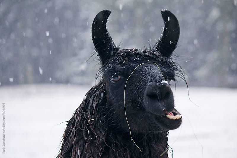 Llama in snow by Tari Gunstone for Stocksy United