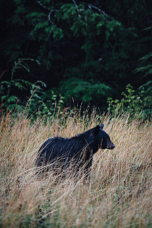 A Bear in the Wild by Michael Overbeck for Stocksy United