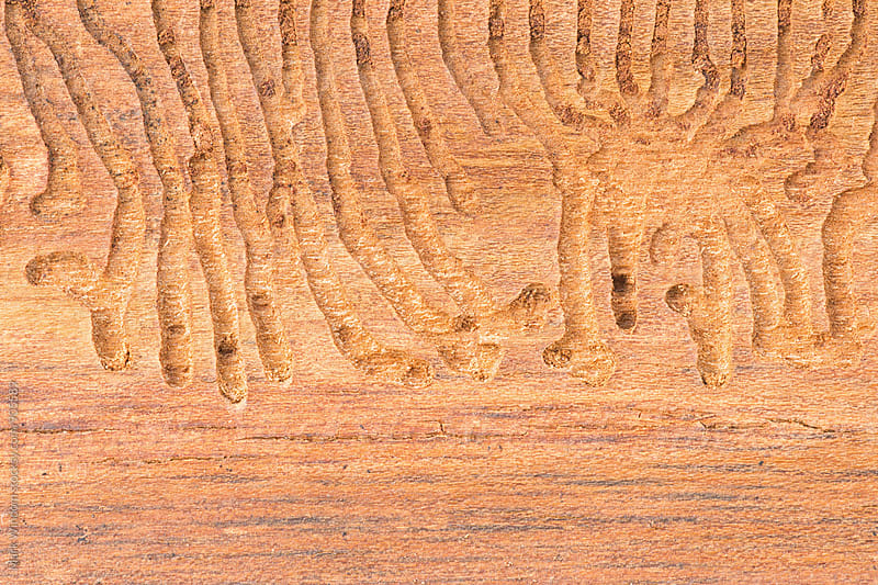 Beetle larvae tunnels by Mark Windom for Stocksy United