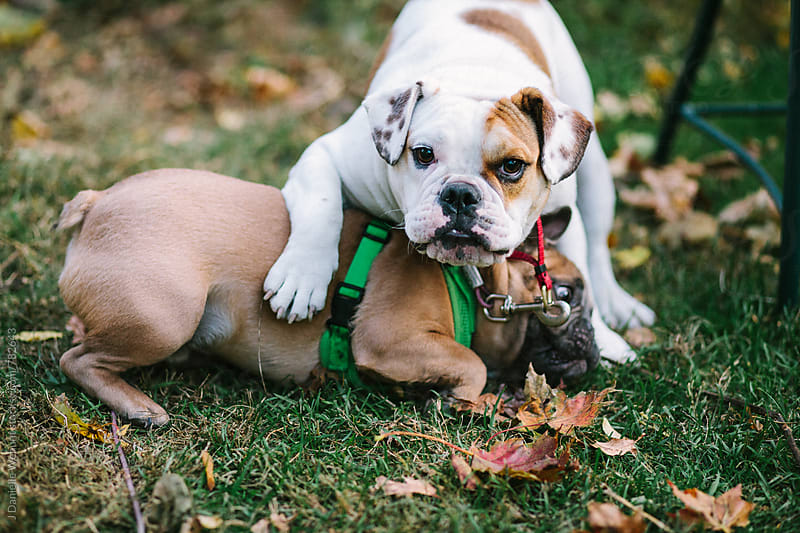 A white english bulldog and a brown french bulldog playing in the grass and leaves by J Danielle Wehunt for Stocksy United