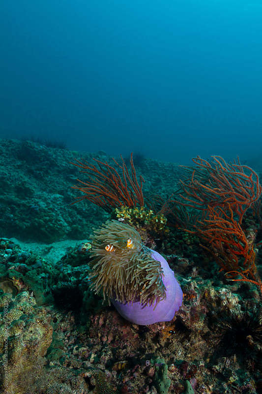 Clownfish in anemone on the coral reef in Thailand by Jovana Milanko for Stocksy United