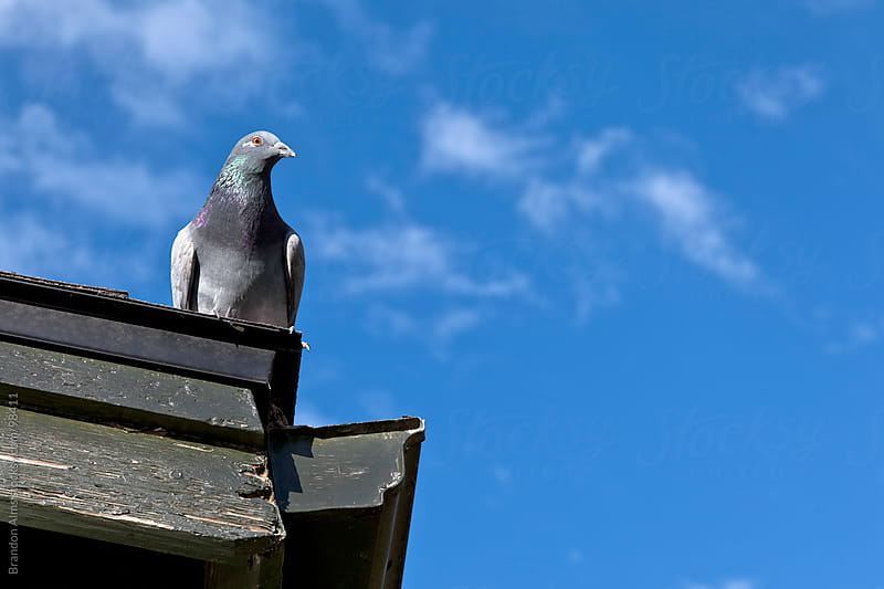 Pigeon Closeup on a Rooftop by Brandon Alms for Stocksy United